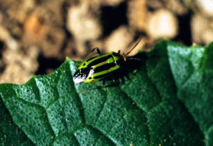 Satellite pest risk service to help African farmers